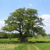 Un magnifique chêne jumeau de forte taille.( © M Sébastien Thiébaut )