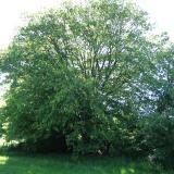 L'arbre est imposant en bord de chemin, et développe une ramure très étalée.( © M Olivier Thiébaut (PNRM) )