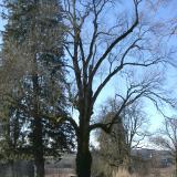 Un des plus gros frêne du Morvan, avec une forme particulière et symétrique de chandelier.( © M Olivier Thiébaut (PNRM) )