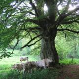 Détail du tronc : les vaches se mettent à l'abri sous l'arbre.( © Mme Laurence Gadrey )