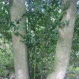Un ensemble de houx dans un talus, dont certains à la taille respectable.( © M Olivier Thiébaut (PNRM) )