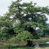 Un beau chêne mis en valeur par un cadre magnifique.( © M Yannick Boisfard )