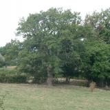 Un chêne au gros tronc mais aux branches fines.( © Melle Cécile Grimaldi (PNRM) )