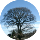 Un beau chêne marquant un carrefour du village.( © M Olivier Thiébaut (PNRM) )