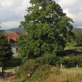Le chêne majestueux domine largement la maison.( © Melle Nathalie Maeght )