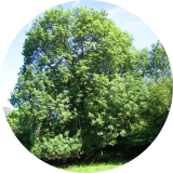 Un frêne qui marque fortement le paysage par son imposante taille( © M Olivier Thiébaut (PNRM) )