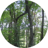 Deux arbres soudés et pourant distant de quelques mètres l'un de l'autre.( © Melle Cécile Grimaldi (PNRM) )
