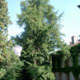 L'arbre aux milles écus, un survivant de la préhistoire.( © M Olivier Thiébaut (PNRM) )