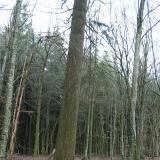 Un arbre si grand qu'il est difficile de le prendre entièrement en photo( © M Guy Cougnard )