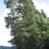 Un beau spécimen de pin sylvestre, marquant le carrefour et l'entrée du château( © M Olivier Thiébaut (PNRM) )