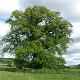 Le deuxième plus gros chêne du Morvan, bien développé en milieu agricole( © M Olivier Thiébaut (PNRM) )