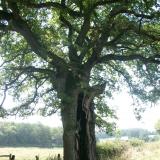 Un chêne au tronc creux.( © Melle Cécile Grimaldi (PNRM) )